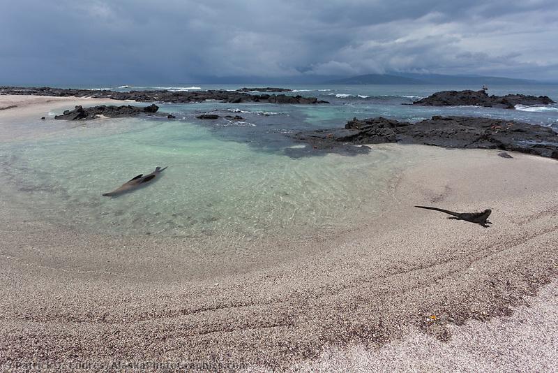 Galapagos sea lion, Punto Espanosa, Fernandina Island, Galapagos Islands, Ecuador