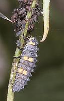 Larve frisst in Blattlaus-Kolonie