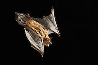 Evening Bat, Nycticeius humeralis, adult in flight,Willacy County, Rio Grande Valley, Texas, USA