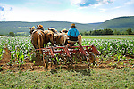 Amishman cultivating field corn in late June four horse team. Nippenose Valley, PA.