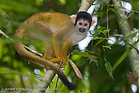 Bolivian Squirrel Monkey (Saimiri boliviensis) in lowland tropical rainforest, Rio Amigos Conservation Concession, Madre de Dios, Peru.