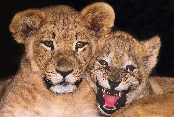 656259155 A pair of young captive African lion cubs panthea leo stare at the camera with one snarling aggressively. Animals are wildlife rescues
