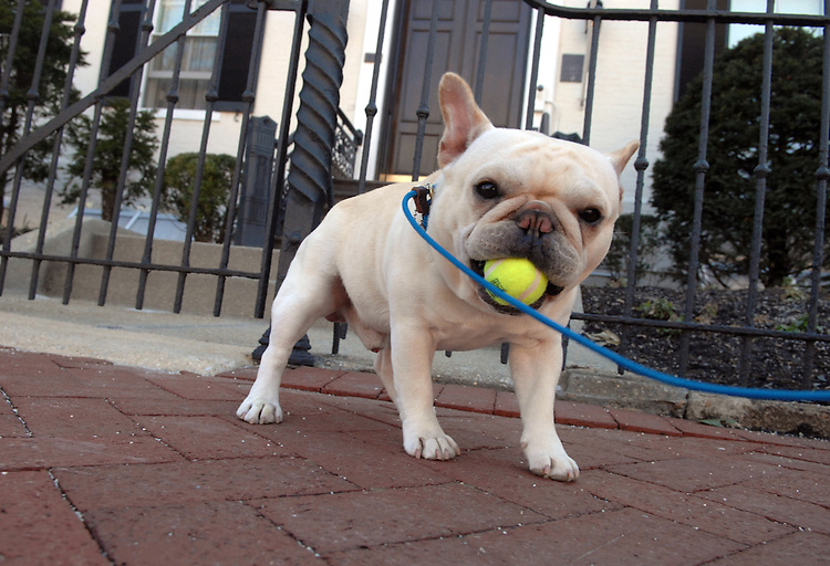 "Westminster Dog Show best of breed winner, French bulldog ""Wishbone"" poses in front of the Marine Barracks on 8th Street, SE."