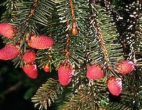 Red Staminate catkins of Sitka Spruce (picea sitchensis). Samuel H. Boardman Park, Oregon.