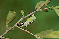 Black Swallowtail (Papilio polyxenes), caterpillar pupating into chrysalis, series , Hill Country, Texas, USA