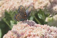 03418-01005 Red-spotted Purple (Limenitis arthemis) on Joe Pye Weed (Eutrochium purpureum) Marion Co. IL