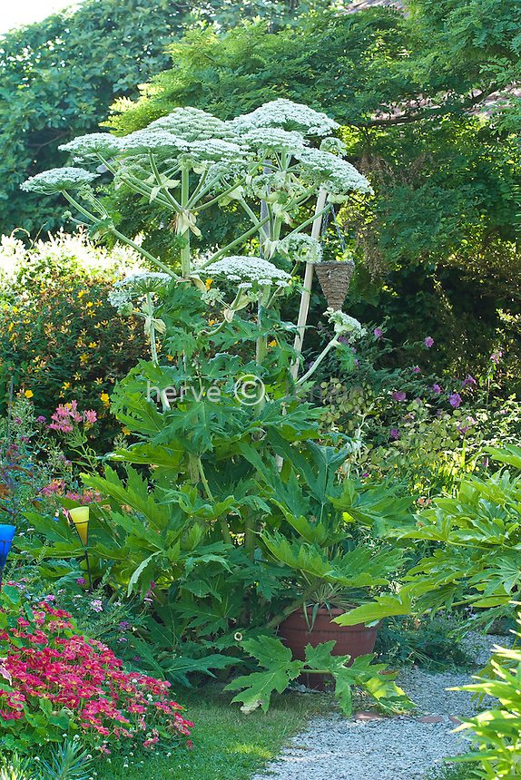 Berce du Caucase (Heracleum mantegazzianum). En rouge, capucine naine // Giant Hogweed or giant cow parsley, Heracleum mantegazzianum in a garden