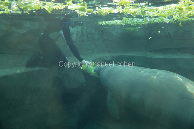 A diver feeds Tinus the manatee (Trichechus manatus) with lettuce in the manatee tank in the Great Glasshouse in the Zone Guyane of the new Parc Zoologique de Paris or Zoo de Vincennes, (Zoological Gardens of Paris or Vincennes Zoo), which reopened April 2014, part of the Musee National d'Histoire Naturelle (National Museum of Natural History), 12th arrondissement, Paris, France. Picture by Manuel Cohen