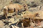 Bighorn Sheep, Female and Lamb, Gardner Canyon, North Entrance, Yellowstone National Park, Wyoming