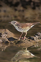 592800004 a wild louisiana waterthrush seirus motacilla forages in a small pond on a private ranch in the rio grande valley of south texas