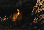 An adult cougar sitting outside its den in Jackson, Wyoming.