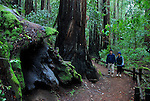 Hikers on trail at Armstrong Redwoods