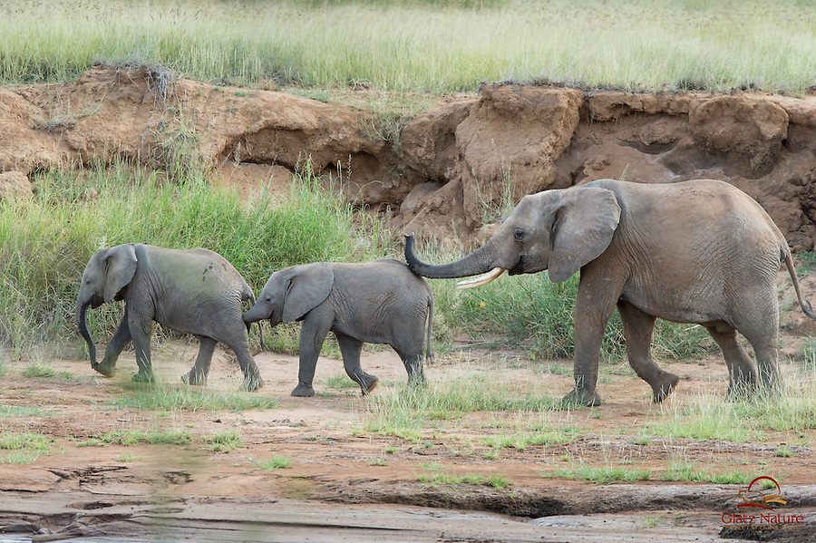 Female Elephant (Loxodonta africana) and two calves appear to be enjoying themselves as they move quickly along the bank of the Ewaso Ng'iro River, Samburu