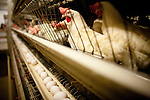 Chickens in one of J.S. West's traditional, non-Prop. 2 compliant, cage systems in Atwater, California,  August 11, 2010. California's Proposition 2, passed in 2008, requires that egg-laying hens in California be able to fully extend their limbs, lie down and turn in a circle within their enclosures. .CREDIT: Max Whittaker for The Wall Street Journal.EGGS