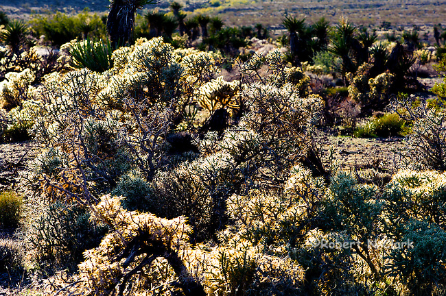Cactus and other plants of the Mojave National Preserve in the Eastern Mojave Desert of California