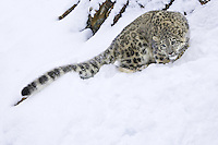 Snow Leopard looking intently down a snowy hill - CA