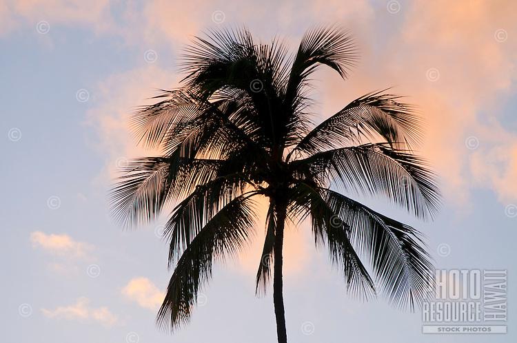 A coconut (or niu) tree on Kaua'i.