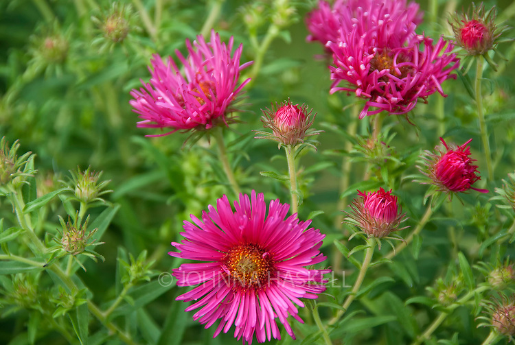 Pink Asters towering over four feet tall bloom in fall in Bratislava, Slovakia.