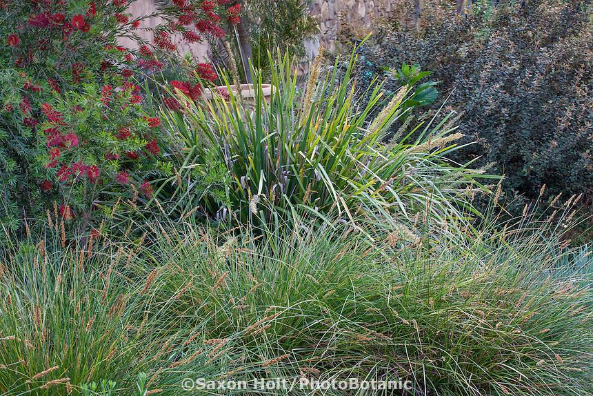 Lomandra hystrix 'Katie Belles' or L. 'Tropic Belles' (tall) with Carex appressa, Tall Sedge and Callistemon 'Slim'; Australian Native Plant Nursery, Ventura, California