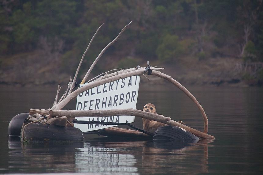 Harbor Seal (Phoca vitulina) at Photographer Peter Fromm's Gallery Mooring, Stuart Island, Washington. US