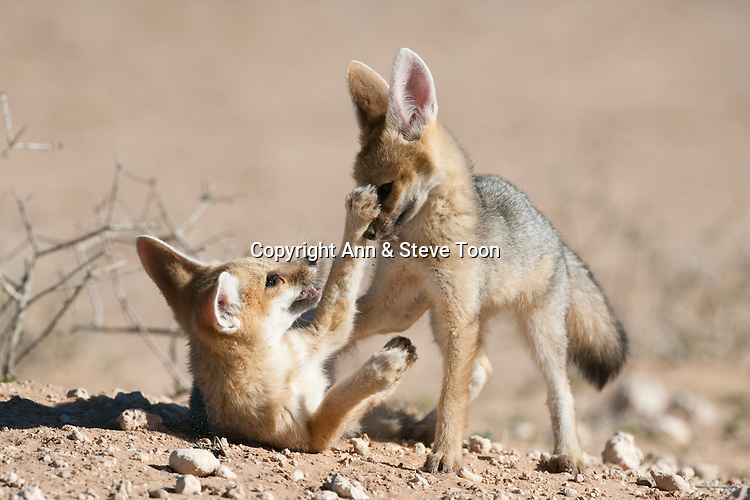 Cape fox cubs playing, Vulpes chama, Kgalagadi Transfrontier Park, Northern Cape, South Africa