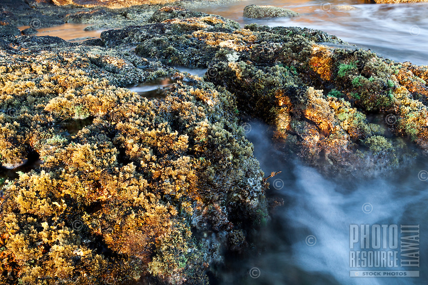 Water flows through rocks covered with green and yellow algae during low tide at Diamond Head Beach, Honolulu, O'ahu.