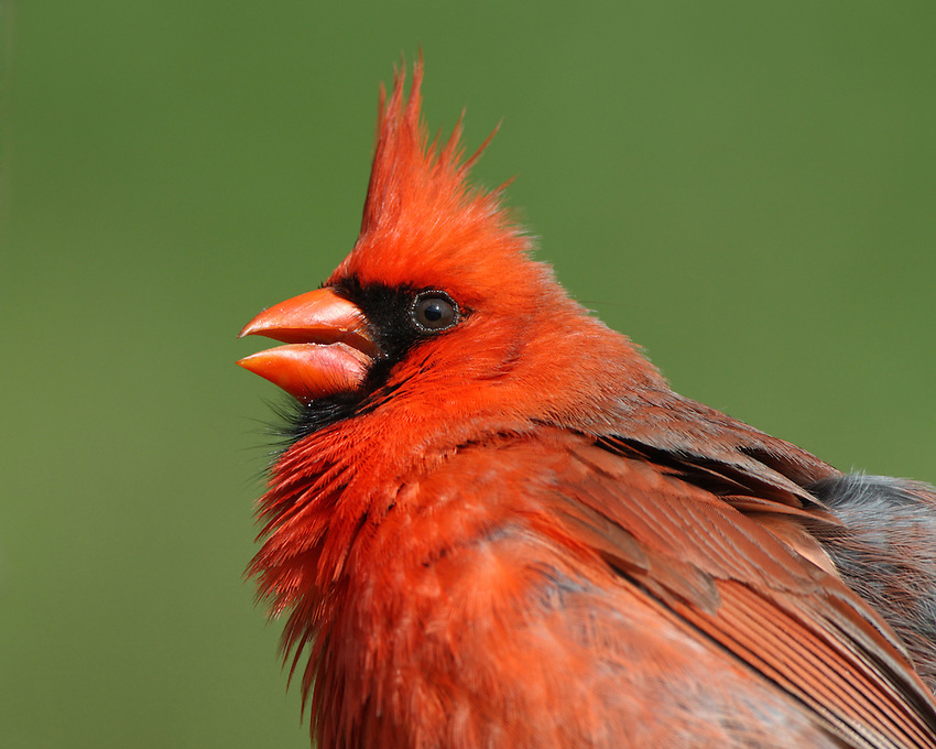 In summer, the Cardinals sweet whistles are one of the first sounds of the morning.