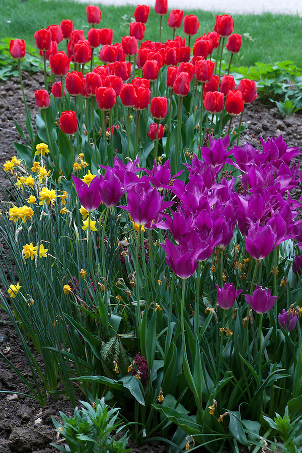 Brightly colored tulips and daffodils, Tuileries Gardens (Jardin des Tuileries) in spring, Paris, France, Europe