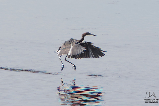 Reddish egret chasing a fish in a tense life and death struggle with a surprise ending.