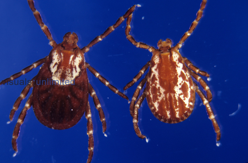 Male and female Dog Ticks ,Dermacentor variabilis,. LM X7.