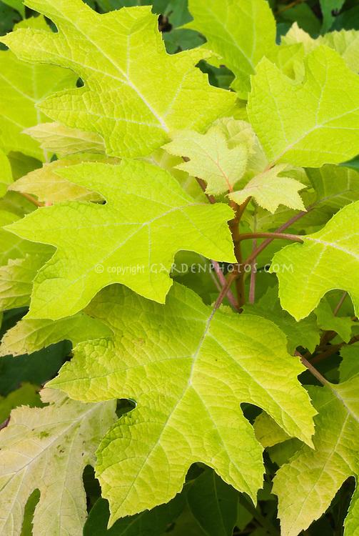 Hydrangea quercifolia Little Honey, yellow leaved foliage of oak leaf hydrangea, summer color