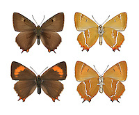 Brown Hairstreak - Thecla betulae - (female - top; male - bottom). Wingspan 40-50mm. A lethargic butterfly and a sluggish flier; often prefers to walk over foliage rather than fly. Adult has dark brown upperwings; male has orange patch on forewing. Underwings are orange-brown with white line. Flies August. Larva is slug-like and feeds on Blackthorn. Very local in southern and central England and Wales. Favours Blackthorn scrub and hedgerows.