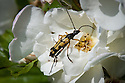 Longhorn beetle (Strangalia maculata) on rose, mid July.