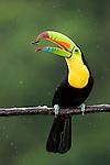 Keel-billed Toucan (Ramphastos sulfuratus), Santa Rita, Costa Rica