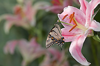 Eastern Tiger Swallowtail on a starbust day lilly