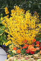 Flower garden with Forsythia x intermedia Show Off aka Mindor, Hosta, Heuchera, Tagetes Marigolds,  Ranuculus