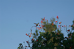The hummingbird catches a quick snack at the morning glorry flowers.