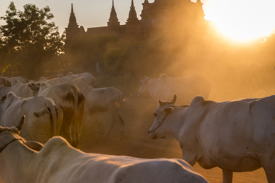 BAGAN, MYANMAR - CIRCA DECEMBER 2013: Cattle in the afternoon near Bagan in Myanmar