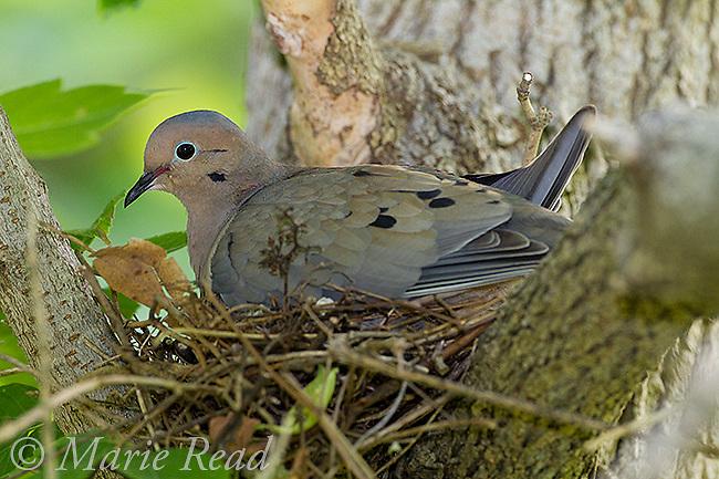 Mourning Dove (Zenaida macroura), adult on nest, New York, USA