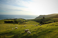 Image of Sheep and green farmland | sea ocean in background | Otago Peninsula Dunedin New Zealand