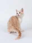 LaPerm - Kitten, 11 weeks old, Cream Burmese Colour Restriction & White