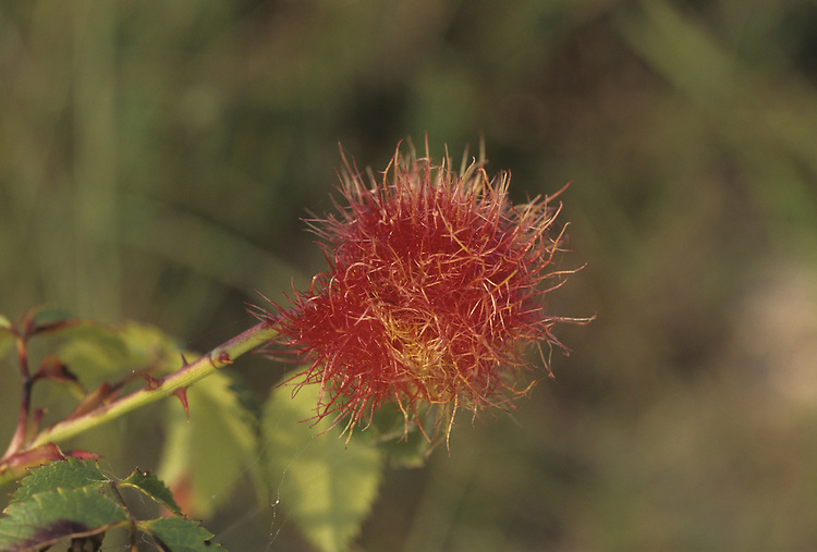 Robin's Pincushion - Caused by Rhodites Rosae