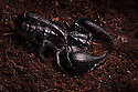 Asian Forest Scorpion {Heterometrus spinifer} captive, originating from Malaysia and Thailand. website