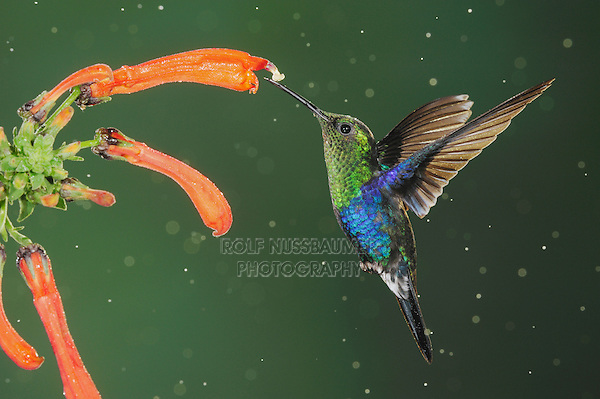 Green-Crowned Woodnymph (Thalurania fannyi), male feeding on flower during rain fall,Mindo, Ecuador, Andes, South America