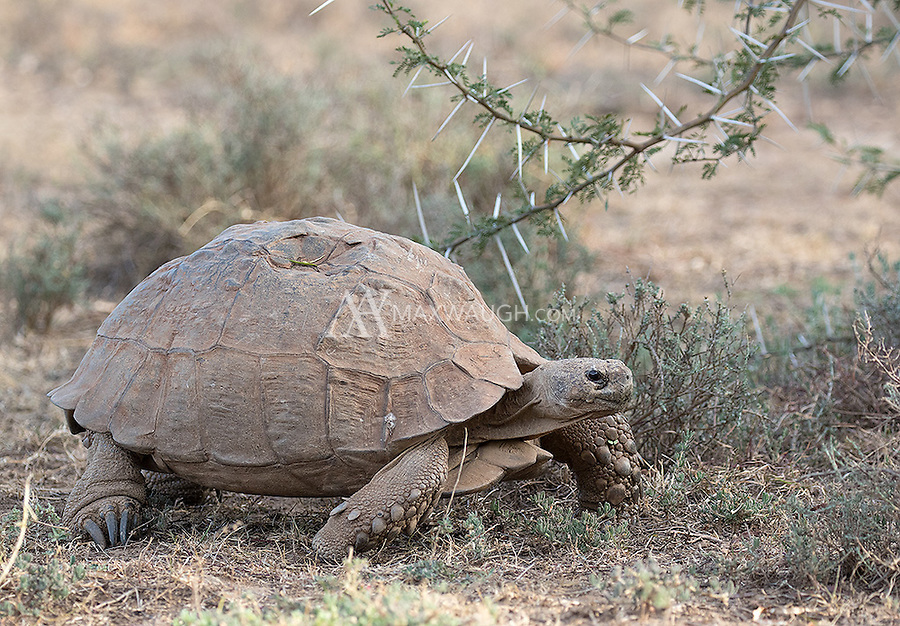 A large leopard tortoise moves slowly through the brush.