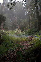Forget-me-nots in woodland mist, nature reserve, El Hierro, Canary Islands,Spain.