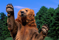Kodiak Bear aka Alaskan Grizzly Bear and Alaska Brown Bear (Ursus arctos middendorffi) waving Paws - North American Wildlife