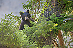 Yellowstone National Park, WY: American Black Bear (Ursus americanus) in a Douglas Fir tree