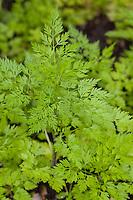 Hundspetersilie, Hunds-Petersilie, Blatt, Blätter vor der Blüte, Aethusa cynapium, Fool's parsley, fool's cicely, poison parsley, dog poison