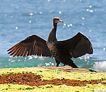 Great Cormorant, Phalacrocorax carbo